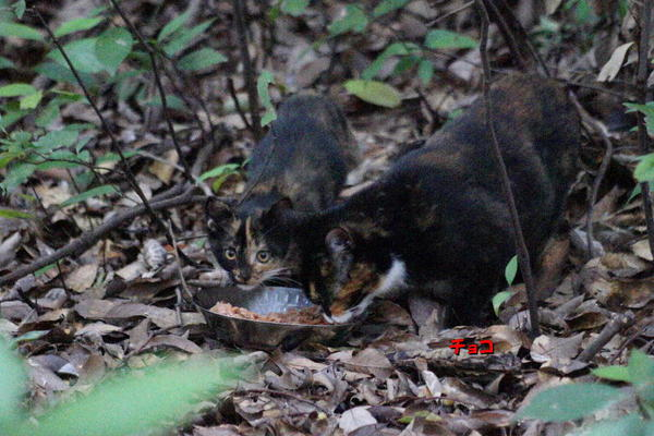 DSC01903 チョコと子猫.jpg