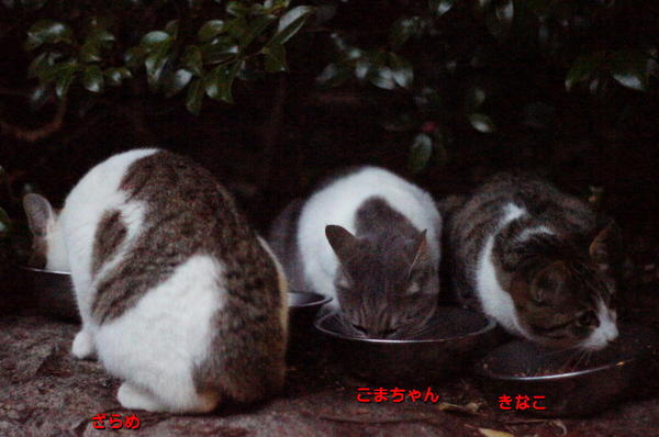 DSC02488 ポチクロの子猫達.jpg