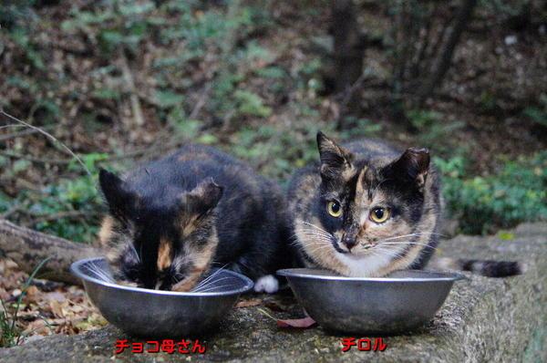 DSC04706 チョコ母さんとチロル.jpg
