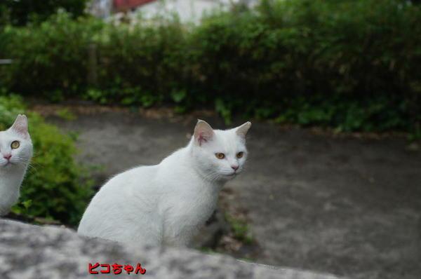 DSC05482 ピコちゃん.jpg