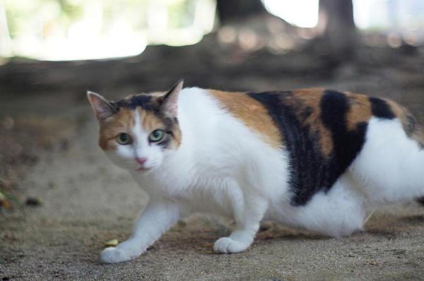 DSC06017 三毛猫.jpg