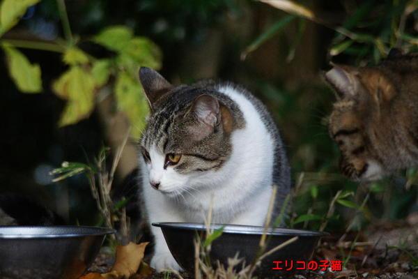 DSC07093 エリコの子猫.jpg
