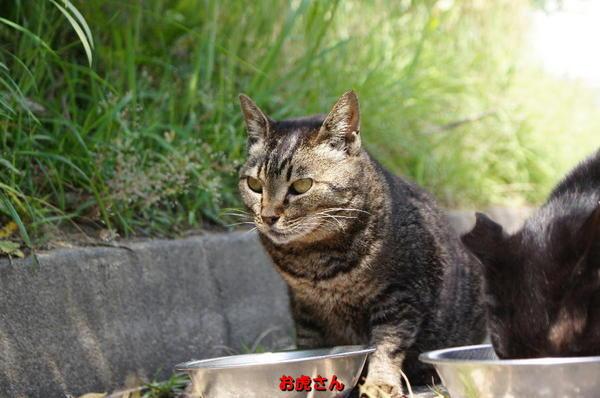 DSC08224 お虎さん.jpg
