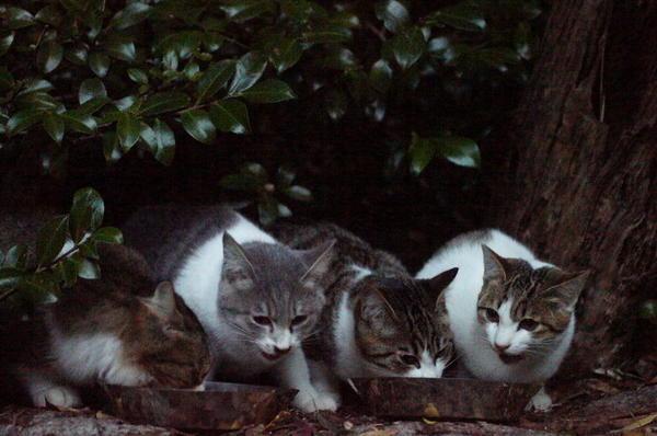 DSC08380 ポチクロの子猫達.jpg