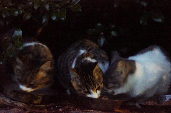 DSC08635 ポチクロの子猫達.jpg