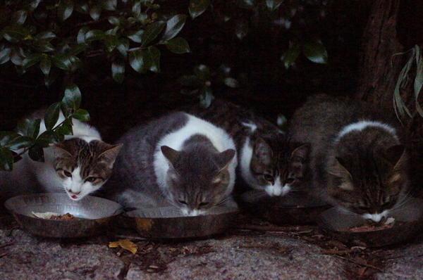 DSC08878 ポチクロの子猫達.jpg