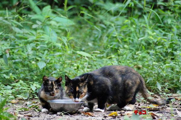 DSC08909 チョコと子猫.jpg