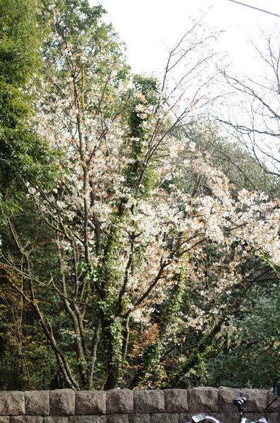 DSC09594 山桜.jpg