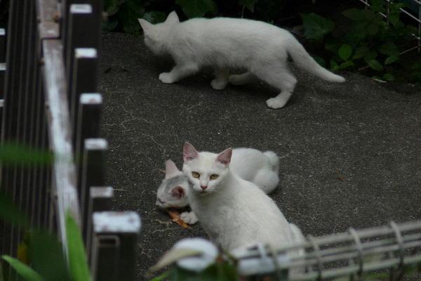 P1150567 ミルクと子猫.jpg